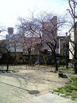 黒崎町公園の桜